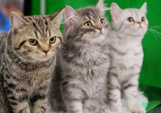 中国首只克隆猫将于近期问世