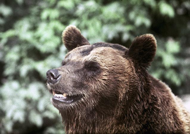 一头熊在西伯利亚原始森林里偷走猎人的两支枪