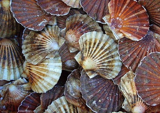 俄滨海边疆区将出现远东地区最大的扇贝和海参养殖厂