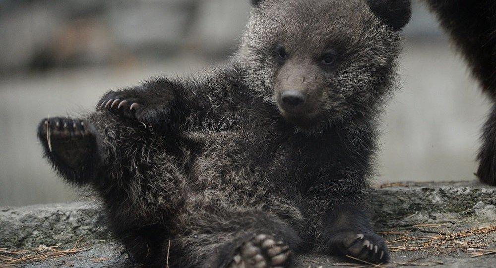 无人机惊吓到熊:科学家们谴责网络爆红短片