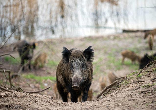 媒體:維也納自然保護區的一群野豬攻擊了一名英國外交官