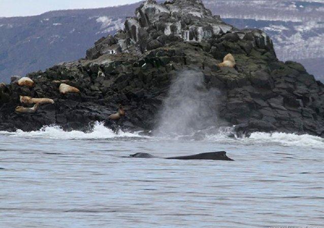 俄勘察加海岸附近发现罕见座头鲸群