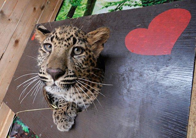 莫斯科动物园计划从平壤获得云豹