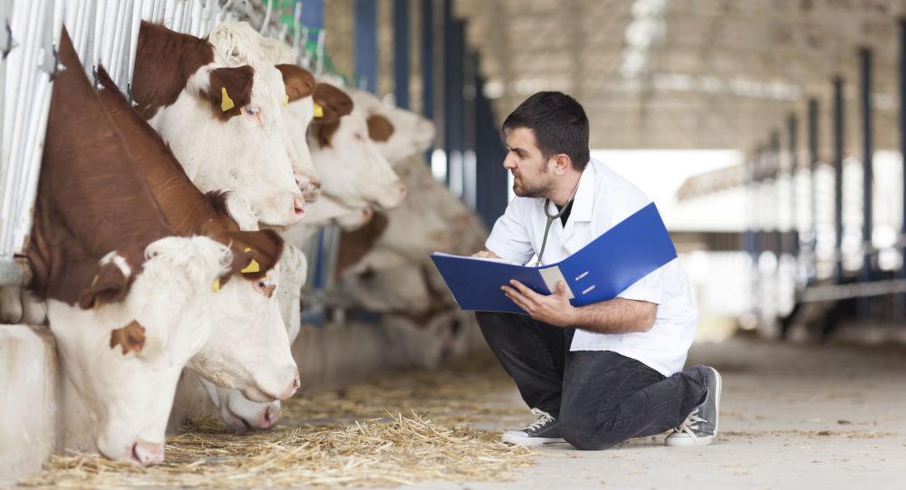 Ветеринар во время планового осмотра рогатого скота