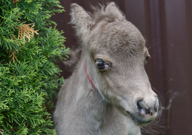 来自永久冻土的小马驹:西伯利亚发现保存完好的灭绝马的遗骸