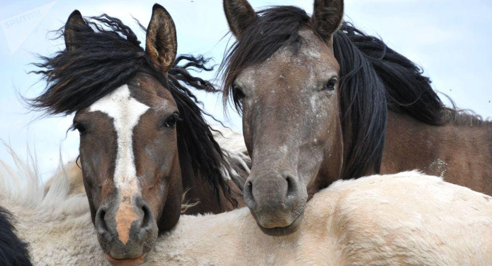 科学家揭示马为何打响鼻