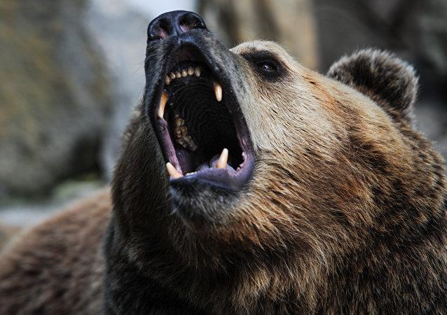 俄罗斯马加丹市中心有熊闯入 被警察射杀