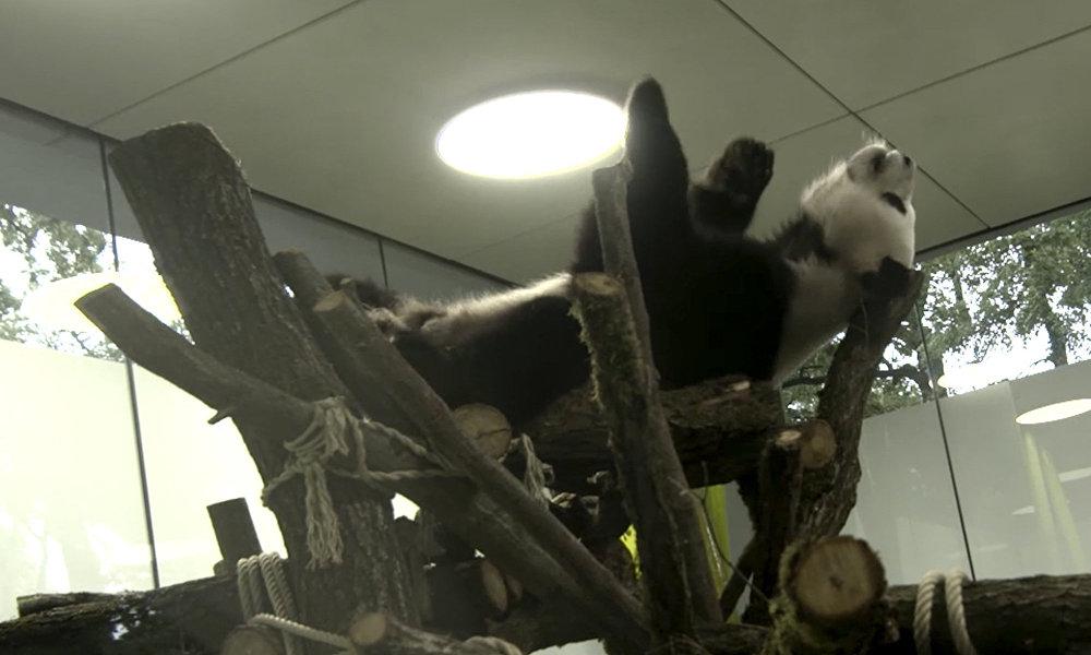 """熊猫外交""""为中俄峰会也增添了情趣——峰会前夕中国向柏林动物园转交了两只熊猫""""梦梦""""和""""娇庆""""。"""