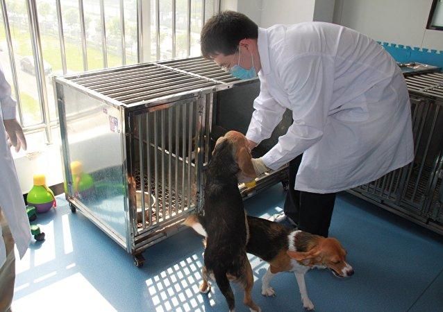 北京希诺谷生物科技有限公司繁殖实验室内的基因编辑克隆犬和代孕母犬