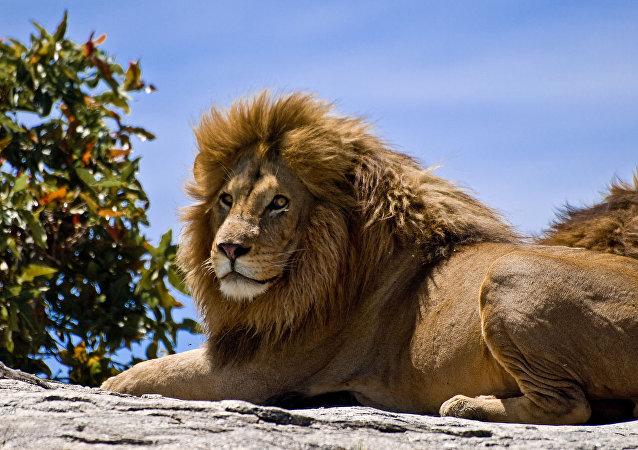 乌兹别克斯坦一私人建筑处发现一头被非法豢养的非洲狮