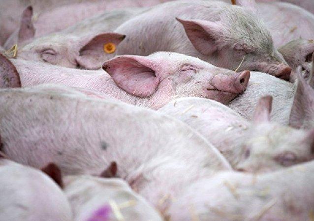 华媒:天津市蓟州区发生非洲猪瘟疫情 死亡189头