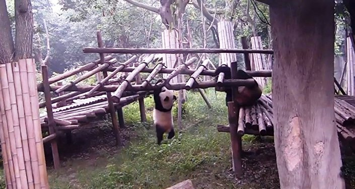 熊猫课堂:从哪里摔倒,就在哪里躺下