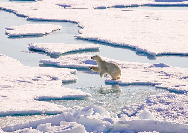 北極地區的白熊