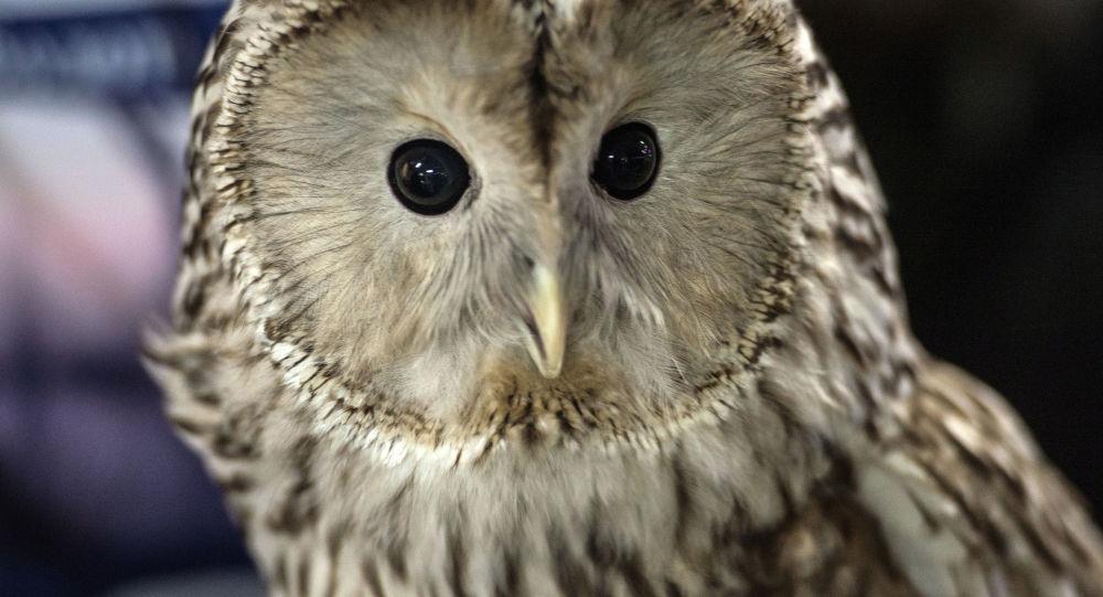 一只猫头鹰在澳大利亚航班的发动机里大睡特睡
