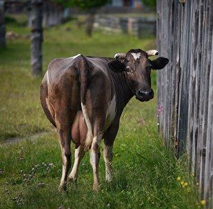 在巴西发现一头有三只角的突变母牛