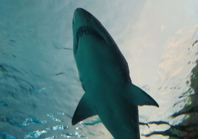 鲨鱼袭击冲浪者反被磕掉牙
