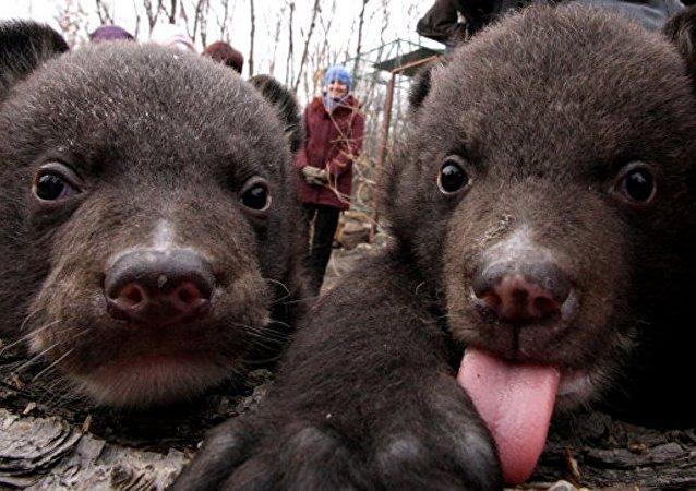 两只获救的喜马拉雅熊幼崽放归自然