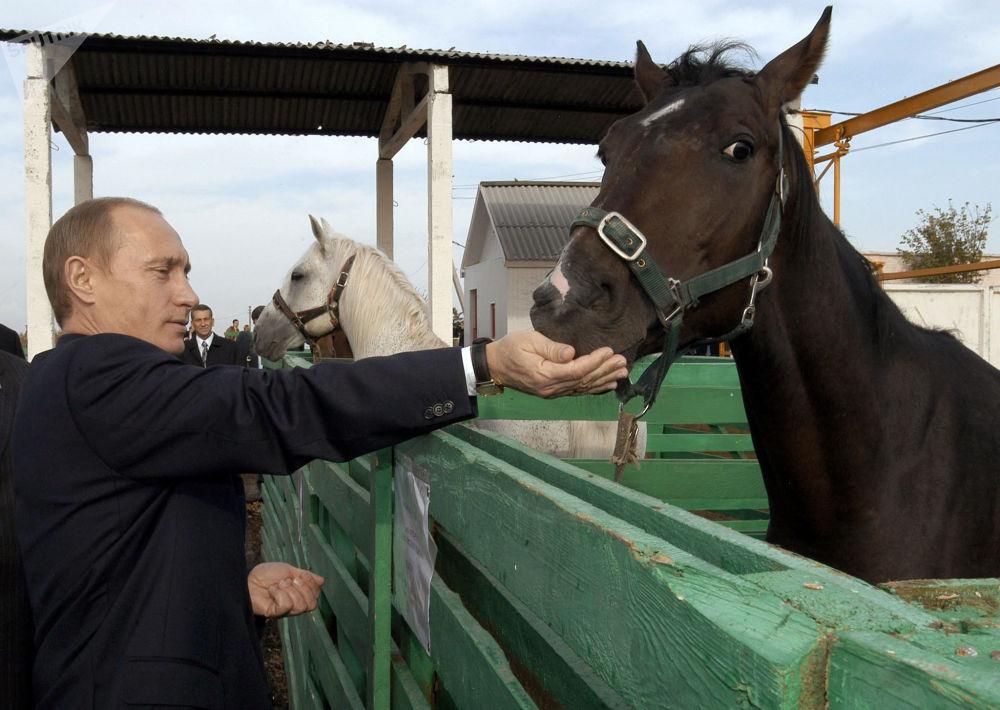 俄联邦总统普京正在给马喂食