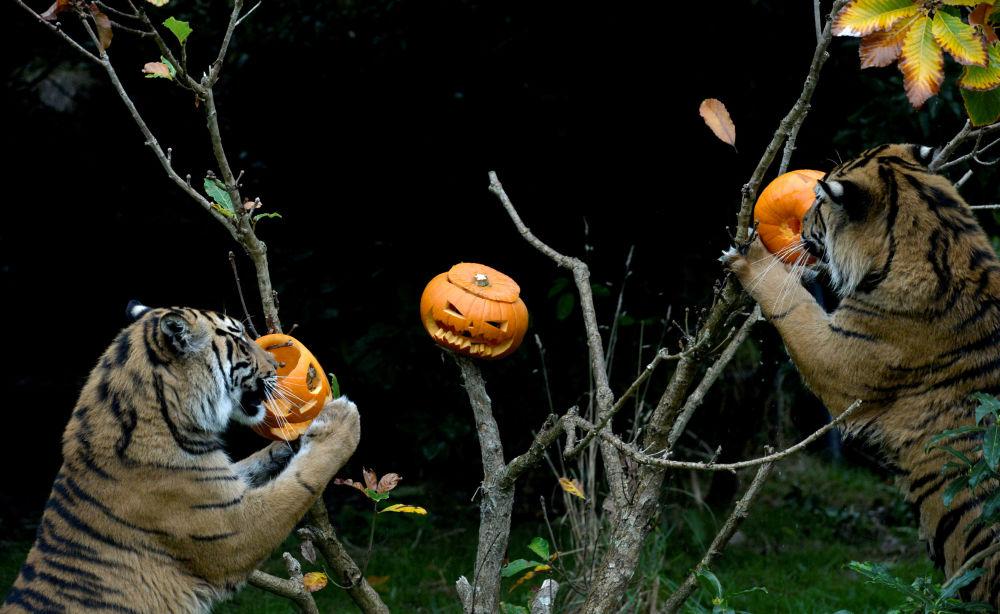 老虎与南瓜玩耍,伦敦
