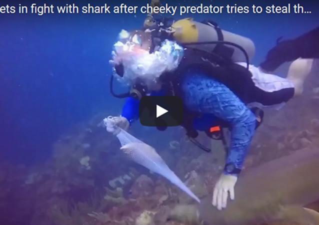 潛水者和鯊魚為一條魚爭搶不休