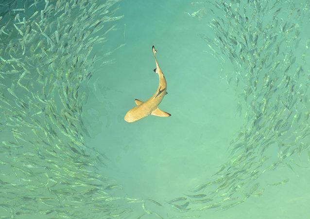 在葡萄牙捕获了一条史前鲨鱼