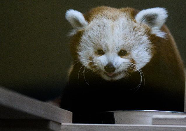 莫斯科动物园开直播 小熊猫将成大明星
