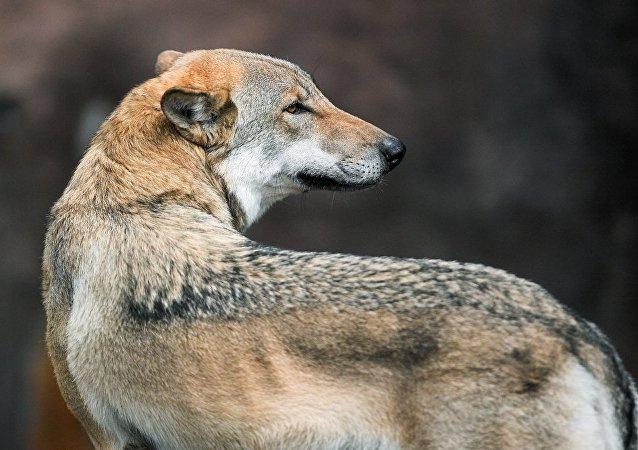 科学家拍下狼头昆虫的照片