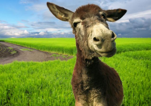"""巴西野驴不走寻常路 """"从天而降"""""""