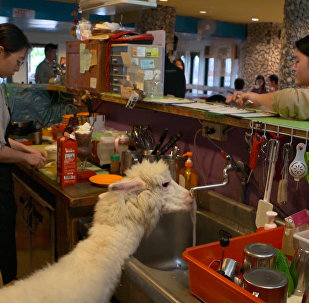台灣羊駝咖啡館