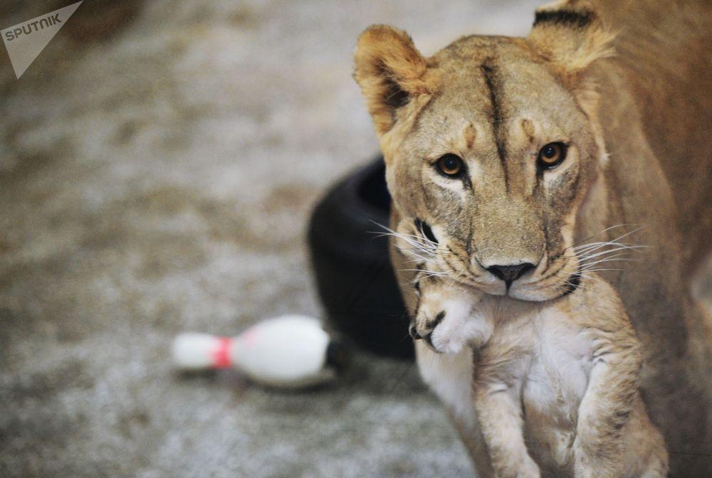 """非洲一只名叫""""艾玛""""的母狮子和她于9月30日生下的三只小狮子在叶卡捷琳堡动物园里"""