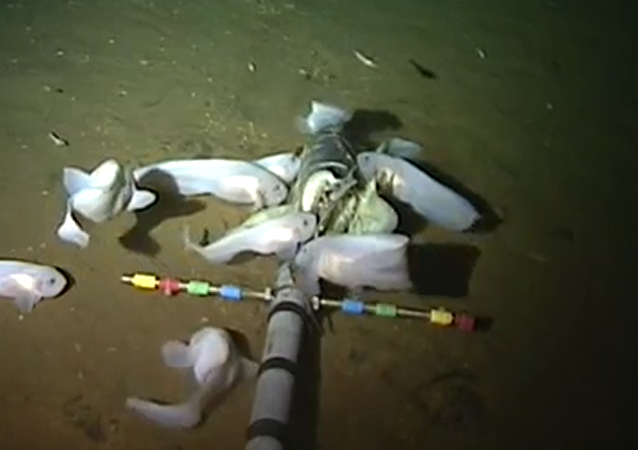 学者展示世界上生存环境水深最大的鱼类的视频