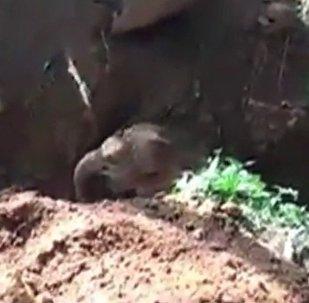 印度的一只落入深坑的小象在挖掘机的帮助下被救出(视频)