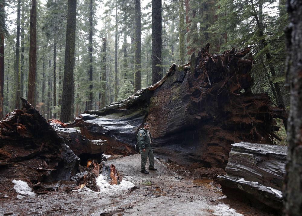 美國加州著名的千年紅彬「先鋒小屋樹」(Pioneer Cabin Tree)被颶風擊倒。