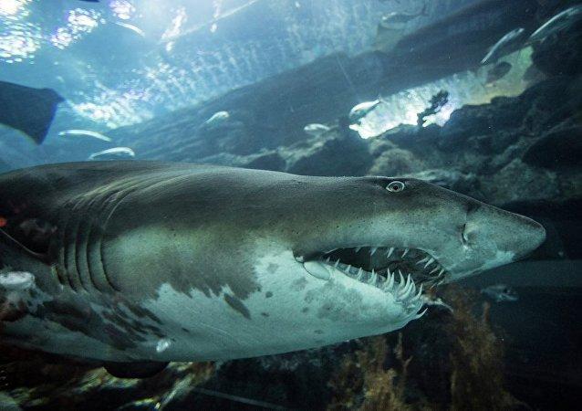 一中国公民企图将史前鲨鱼牙齿带离俄境