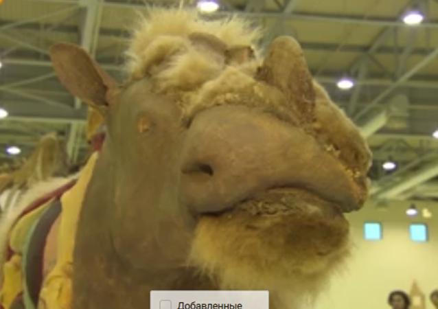 """地下的3.3万年长毛犀牛""""萨沙""""在莫斯科展出"""