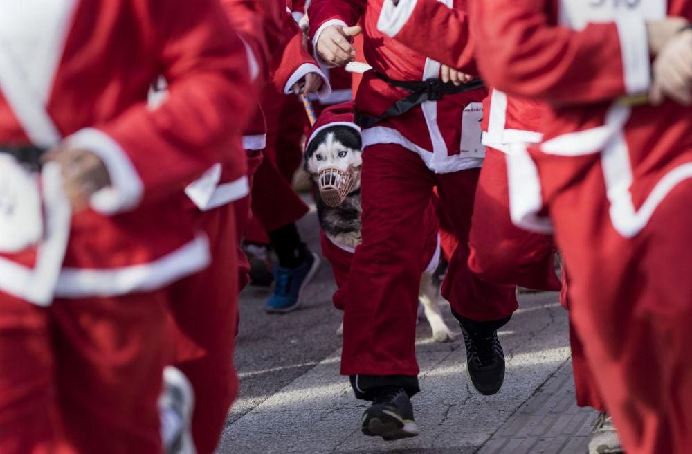 斯科普里打扮成圣诞老人的狗在参加传统的新年比赛。