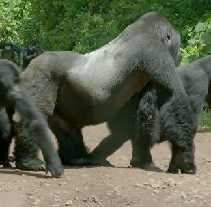 大猩猩爸爸带全家过马路(视频)