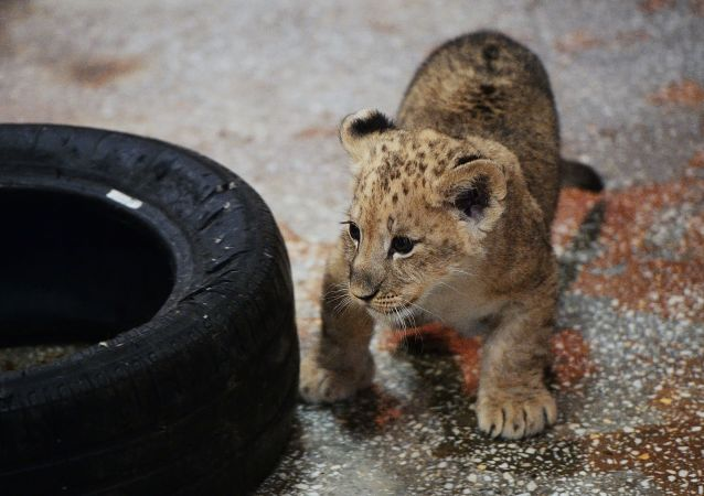 世界首例试管狮子在南非诞生