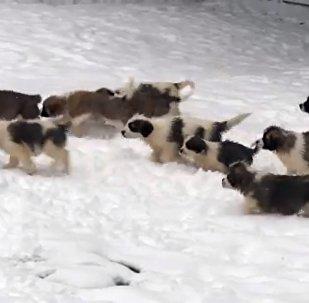 俄國防部通過拍攝軍犬幼犬視頻祝俄羅斯人民新年快樂