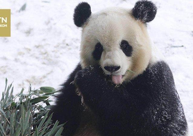 像孩子一樣:被第一場雪樂壞的熊貓萌翻網友