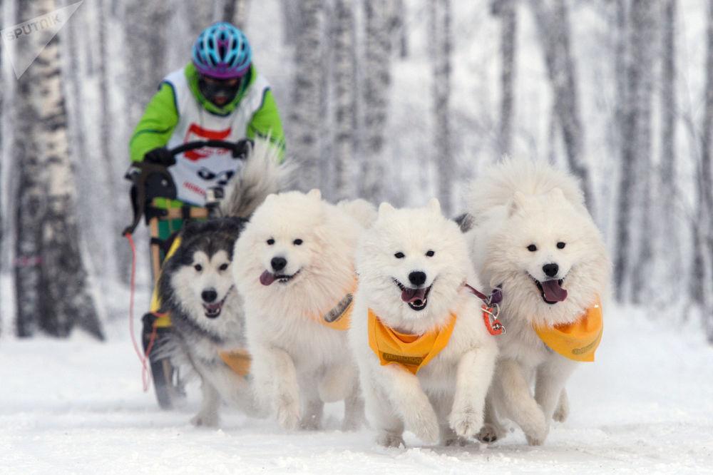 新西伯利亚举行狗拉雪橇比赛