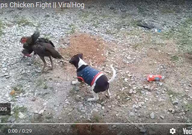 公雞打架小狗「勸架」