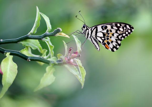 古生物學家:先有蝴蝶後有花