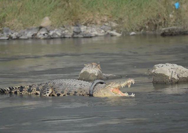 鳄鱼脖套轮胎生活两年 不让人靠近施救