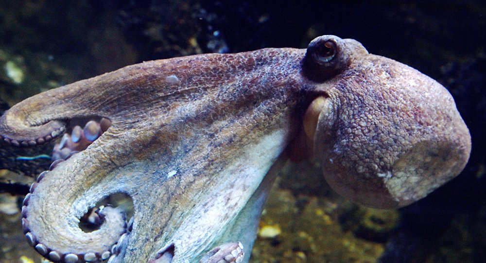 媒体:澳大利亚一只海豚活吞章鱼反被憋死