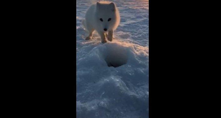 一隻北極狐偷偷走近漁民並偷走了他捕獲的獵物