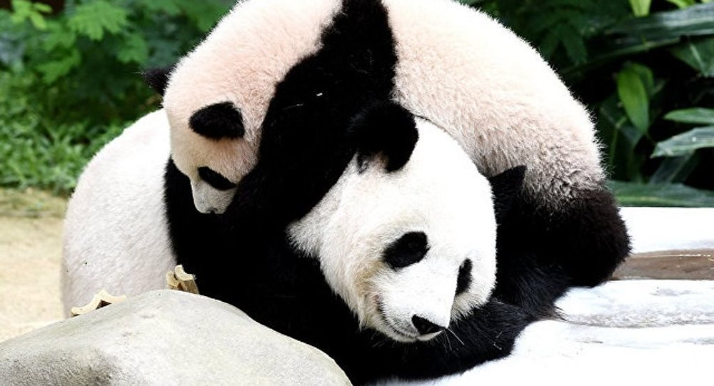 中国国家主席习近平赠送芬兰的大熊猫已抵达赫尔辛基