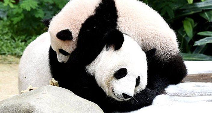 中国国家林业和草原局:中国野生大熊猫数量已突破1800只