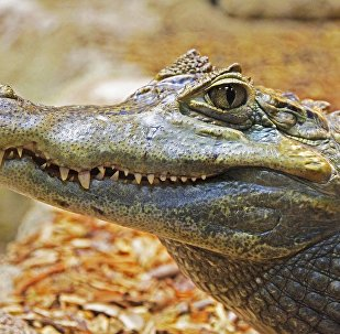 美国一条大鳄鱼企图闯入民宅