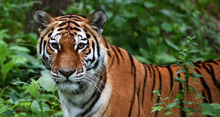 學者:未來數年沒有把治癒的老虎放往中國的計劃